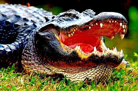 alligator-pictures